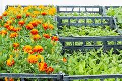Tipo diferente das flores e das ervas em uns potenciômetros na estufa Foto de Stock