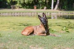 Tipo malinois del cane da pastore del Belgio fotografie stock