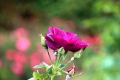 Tipo rapsodia de la rosa de la púrpura en azul en primer en el rosario público de Boskoop en los Países Bajos fotos de archivo libres de regalías