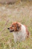 Tipo rojo perro del collie de ovejas de la granja en hierba larga imagen de archivo