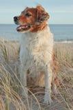 Tipo rojo perro del collie en hierba de la arenaria del ammophila en b fotos de archivo
