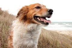 Tipo rojo perro del collie en hierba de la arenaria del ammophila en b foto de archivo