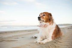Tipo rojo y blanco cabelludo mullido perro pastor del collie que miente en la playa arenosa blanca, Mahanga, península de Mahia,  foto de archivo libre de regalías