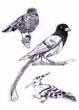 Tipo três da ilustração da pintura do esboço do pássaro Ilustração Stock
