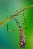 Tipolidae on a sheet of grass with drops of dew Stock Photos
