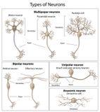 Tipos de neuronas Fotografía de archivo
