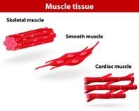 Tipos de tejido del músculo Foto de archivo libre de regalías