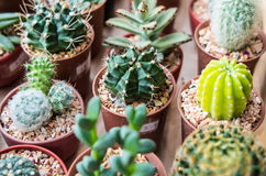 Tipos de Vaious de cactus Foto de archivo libre de regalías