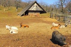 Animais na exploração agrícola Foto de Stock