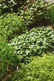 Tipos diferentes de micro verdes Imagens de Stock Royalty Free