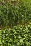 Tipos diferentes de micro verdes Foto de Stock