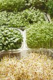 Tipos diferentes de micro verdes Fotos de Stock Royalty Free