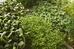 Tipos diferentes de micro verdes Fotografia de Stock Royalty Free