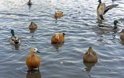 Tipos diferentes de patos na lagoa do parque da cidade foto de stock royalty free