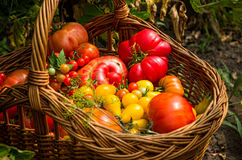 Tipos diferentes de tomates Fotos de Stock Royalty Free