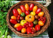 Tipos diferentes dos tomates Foto de Stock