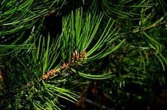 Tipp der Niederlassung von Koniferenbaum Bunge-` s Kiefer Pinus Bungeana auch nannte lacebark Kiefer oder weiß-streifte Kiefer wä Lizenzfreies Stockfoto