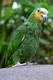 tippad afrikansk orange papegoja Royaltyfria Foton