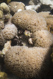 Tipped bubblegum coral Royalty Free Stock Images