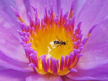 Tipped stamens and insect Stock Photography