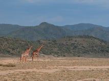 Tippelskirchi do Giraffa do girafa do Masai em Magadi imagem de stock royalty free