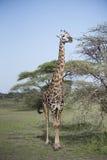 Tippelskirchi Giraffa жирафа Masai в северной Танзании Стоковая Фотография RF