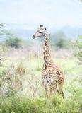 Tippelskirchi Giraffa жирафа Masai в Танзании Стоковая Фотография