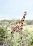 Tippelskirchi Giraffa жирафа Masai в Танзании Стоковые Изображения RF