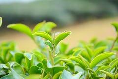 Tipps der Teepflanze Stockbild