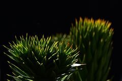 Tips of branches of monkey puzzle tree Araucaria Araucana on dark background Royalty Free Stock Photos