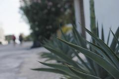 Tips of a maguey on the road royalty free stock images