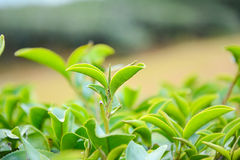 Tips of tea plant. Green tips of tea plant Stock Image