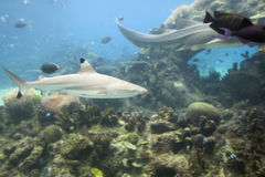 Tipsblk. Blacktip Reef Shark (Carcharhinus melanopterus), swimming over coral with leopard shark and fish in background stock images