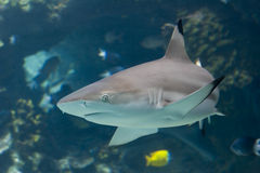 TipShark. Blacktip Reef Shark (Carcharhinus melanopterus) swimming over reef Royalty Free Stock Images