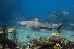 Tipshrk. Blacktip Reef Shark (Carcharhinus melanopterus) swimming over tropical coral reef royalty free stock photo