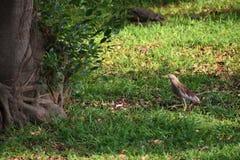 Tiptoe heron stock image