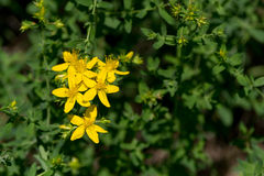 Tipton's weed; St John's wort (Hypericum perforatum) Stock Photography
