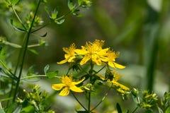 Tipton's weed; St John's wort (Hypericum perforatum) Royalty Free Stock Image