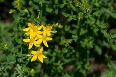 Tipton świrzepa; St John wort (Hypericum perforatum) Fotografia Stock