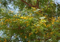 Tipuana tipu tree in bloom royalty free stock image