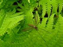 Tipula on the fern Royalty Free Stock Photo