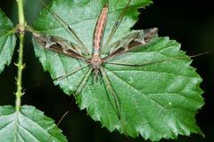 Tipula maxima cranefly from above Stock Photography
