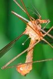 Tipula oleracea Royalty Free Stock Photography