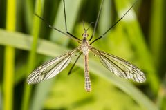 Tipula oleracea, big insect from the dipteran family, similar to. A mosquito stock photos