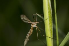 Tipula oleracea, big insect from the dipteran family, similar to. A mosquito, close up stock images