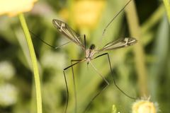 Tipula oleracea, big insect from the dipteran family, similar to. A mosquito, close up stock photos