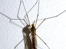 Tipula posed on a white wall. stock images