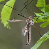 Tipula vittata crane fly Stock Image