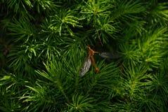 Tipulidae стоковая фотография rf