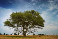 Tipycal african tree on the serengeti park Stock Photos